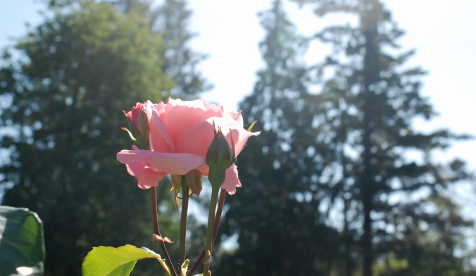 Pink Rose in the sun